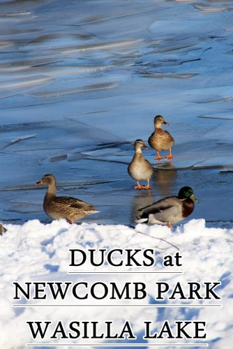 ducks-newcomb-park-wasilla-lake-1